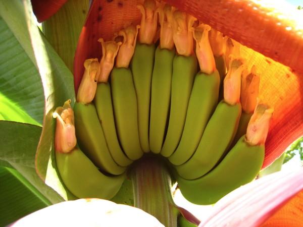 banana-flowers