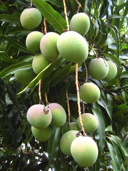 beautiful-mangos