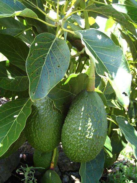 buttery-avocados