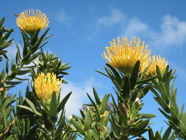 golden-protea-with-bee