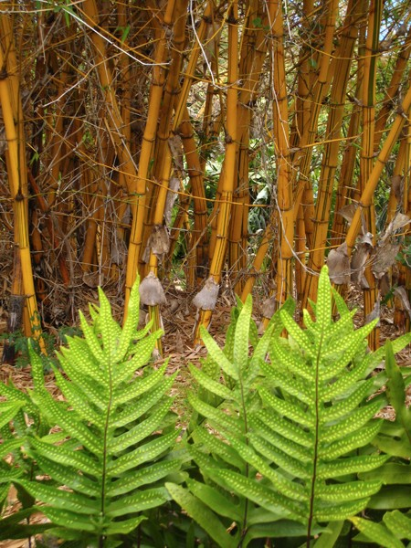 golden-stripe-bamboo-with-fern