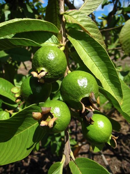 more-guavas
