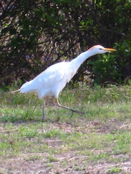 sacred-egrets