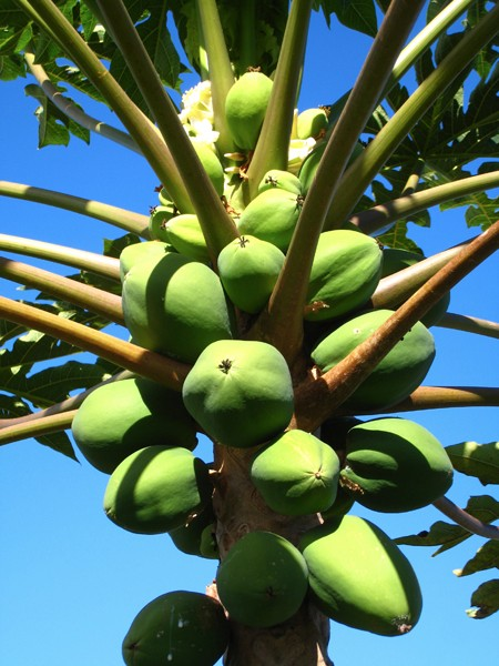 the-most-delicious-papaya-tree